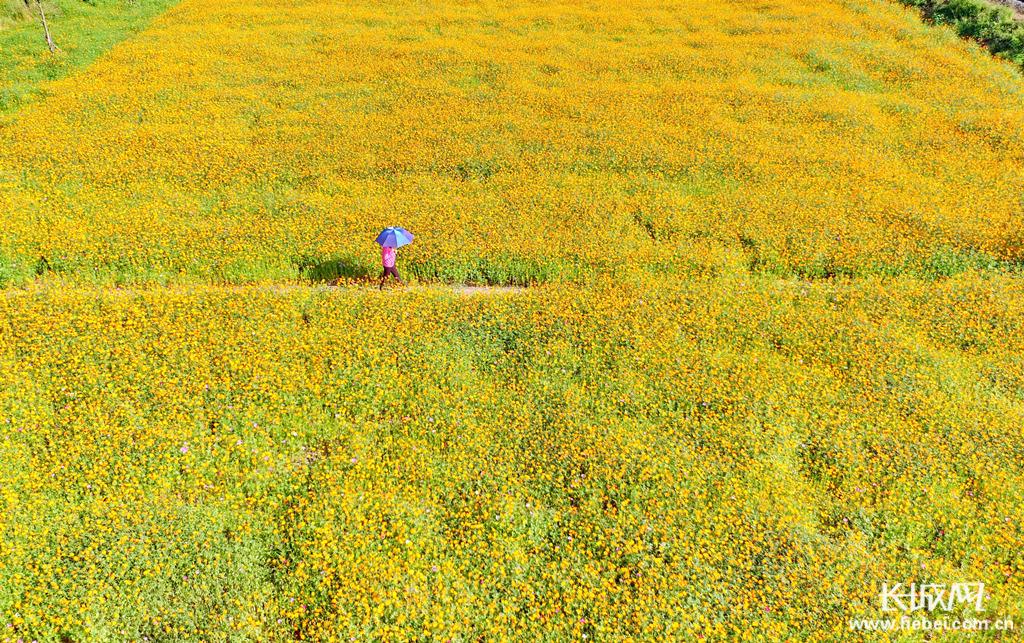 秦皇岛:黄色花海装扮观光铁路沿线