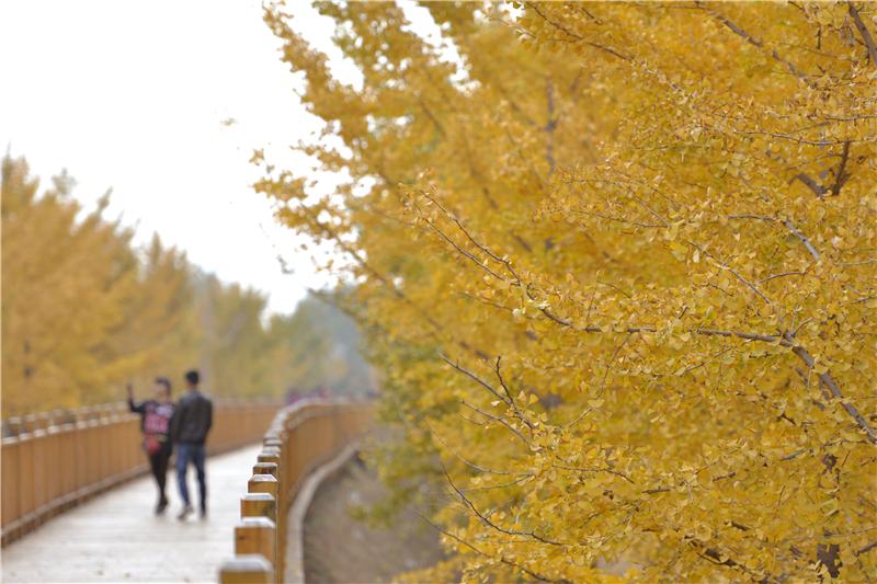 11月7日,游客在河北省沙河市栾卸村银杏园内赏景拍照.